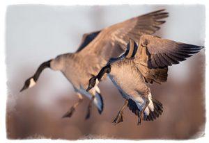 Maryland Goose Hunting